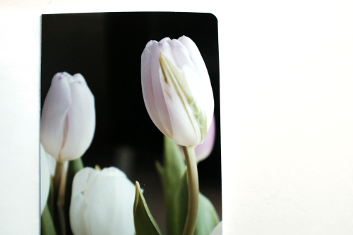 Cinback_Tulips4